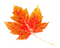 Colorful Maple Leaf Royalty Free Stock Photos