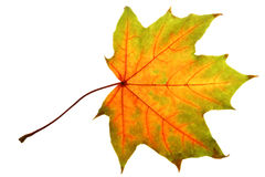 Colorful Maple leaf Stock Images