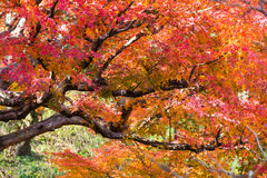 Colorful of maple leaf. Stock Photo
