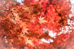 Colorful of maple leaf. stock images