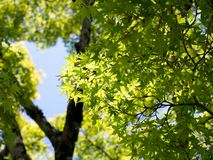 Green Maple tree with blue sky and sunny. Colorful Maple leaf in Autumn Royalty Free Stock Photo