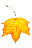 Colorful maple leaf Royalty Free Stock Image