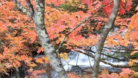 Colorful maple leaf in autumn landscape stock video