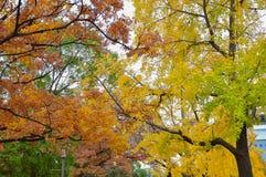 Colorful maple leaf background in autumn. Osaka Japan Royalty Free Stock Photography