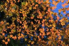 Colorful maple leaf background in autumn, Osaka Japan. A Colorful maple leaf background in autumn, Osaka Japan Stock Photography