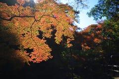 Colorful maple leaf background in autumn, Osaka Japan. A Colorful maple leaf background in autumn, Osaka Japan Stock Photos