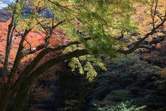 Colorful maple leaf background in autumn, Osaka Japan. A Colorful maple leaf background in autumn, Osaka Japan Royalty Free Stock Photos