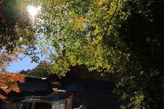 Colorful maple leaf background in autumn, Osaka Japan. A Colorful maple leaf background in autumn, Osaka Stock Images