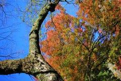 Colorful maple leaf background in autumn, Osaka Japan. A Colorful maple leaf background in autumn, Osaka Royalty Free Stock Photo