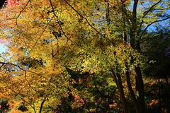 Colorful maple leaf background in autumn, Osaka Japan. A Colorful maple leaf background in autumn, Osaka Japan Royalty Free Stock Photo