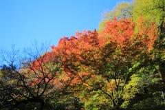 Colorful maple leaf background in autumn, Osaka Japan. A Colorful maple leaf background in autumn, Osaka Japan Royalty Free Stock Images