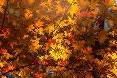 Colorful maple leaf background in autumn, Osaka. Japan Stock Photo