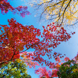 Colorful maple leaf background in autumn. Tokyo Japan Stock Image