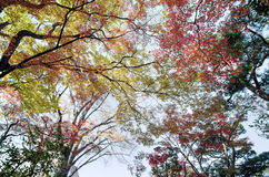 Colorful maple leaf background in autumn. Tokyo Japan Royalty Free Stock Photo