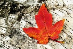 Colorful Maple Leaf on a Birch Log Stock Image