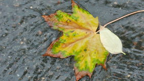 Colorful maple leaf in a brook on the asphalt stock video footage