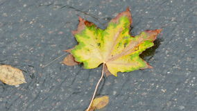 Colorful maple leaf in a brook on the asphalt stock video