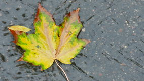 Colorful maple leaf in a brook on the asphalt stock footage