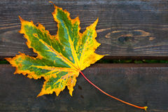 Colorful maple leaf lays on dark wooden table Stock Photography