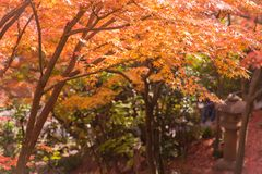 Colorful of maple leaf. stock photography