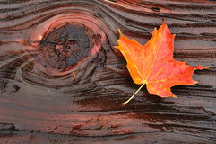 Colorful Maple Leaf on Log. Colorful Maple Leaf on Wet Log with Moss in Fall Stock Photography