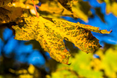 Colorful maple leaf macro view. pattern and texture. soft focus. shallow depth of field Royalty Free Stock Photo
