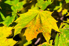 Colorful maple leaf macro view. pattern and texture. soft focus. shallow depth of field Royalty Free Stock Photography