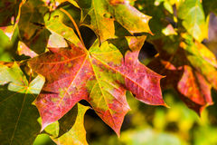 Colorful maple leaf macro view. pattern and texture. soft focus. shallow depth of field Stock Photography