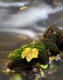 Colorful maple leaf on a mossy stone Royalty Free Stock Image