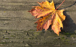 Colorful maple leaf on old wooden background in sunny day Stock Photos