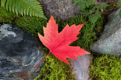 Colorful Maple Leaf on Rocks and Moss Stock Image