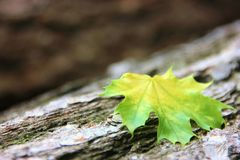 Colorful maple leaf on a tree trunk. Closeup of a colorful maple leaf on a tree trunk with depth o Field and a diagonally effect Stock Image