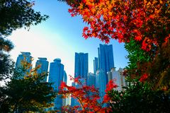 Colorful maple leafs during Autumn season at Busan, South Korea. stock photography