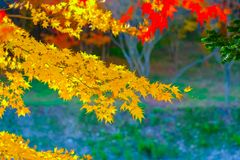 Colorful maple leafs during Autumn season at Naejangsan National royalty free stock photo