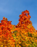 Colorful maple leafs portrait Royalty Free Stock Images