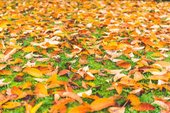 Colorful maple leave on the ground,lawn for background in the park. royalty free stock images