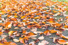 Colorful maple leave on the ground,lawn for background in the park. stock photo