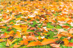Colorful maple leave on the ground,lawn for background in the park. royalty free stock image