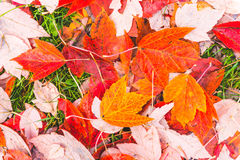 Colorful maple leave on the ground,lawn for background in the park. Stock Images