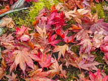 Colorful maple leave on mossy stone stock photos