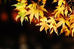 Colorful maple leaves Stock Photography