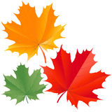 Colorful maple leaves Royalty Free Stock Photography