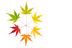 Colorful maple leaves Stock Images