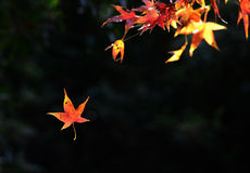 Colorful maple leaves. With nice background Royalty Free Stock Image