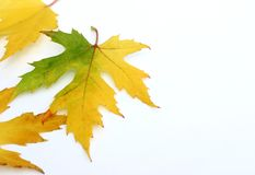 Colorful Maple Leaves Royalty Free Stock Image