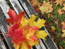 Colorful maple leaves Stock Photos