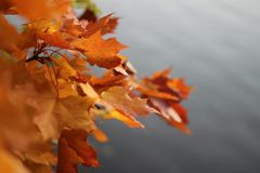 Colorful maple leaves in autumn against grey sky. Red and orange maple leaves in autumn against grey and cloudy sky stock image