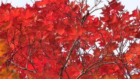 Colorful Maple Leaves in Autumn or Fall stock video