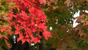 Colorful Maple Leaves in Autumn or Fall stock footage
