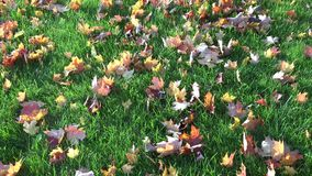 Colorful Maple Leaves in Autumn or Fall stock video footage